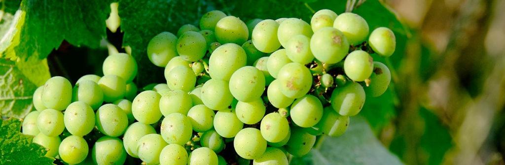 Bild von Weintrauben für das Weinbauförderprogramm